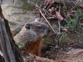 Marmotte commune by NatureDuQuebec