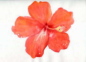 Red Hibiscus Blank Background by Paradasia