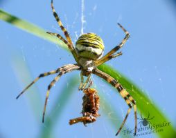 Female Wasp Spider with Prey by TheFunnySpider