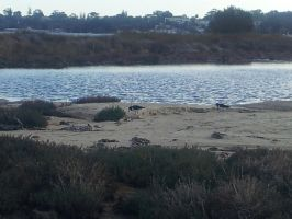 Pied Oystercatchers at the Lagoon by Roses-and-Feathers