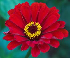Red Flower by princi83