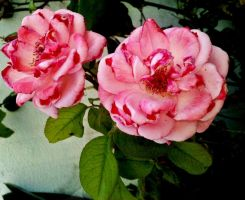 Twin Roses by Crystal-Luna