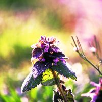 Purple Deadnettle by incolor16