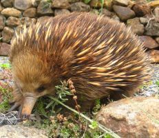 Echidna 3 by shadowcat-kitty
