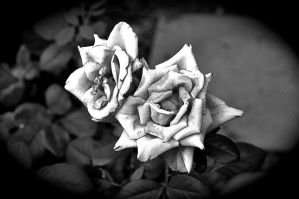White Rose by Photographer121