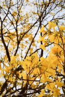 The Yellow Tree by imhsps