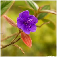 Princess flower by Photographia-Paulo