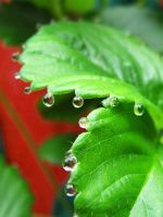 Strawberry Drops 0764 by VioletRosePetals