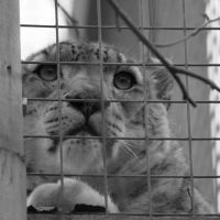 Snow Leopard Caged by James-Marsh