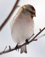 Carduelis hornemanni VIII by nordfold