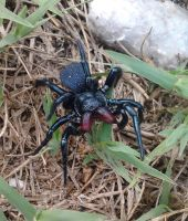 Mouse Spider by Drhoz