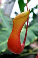 Nepenthes Pitcher by metranisome