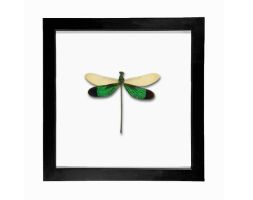 Real Dragonfly Entomology Framed Display by TheButterflyBabe