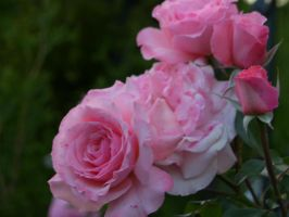 Roses er' blooming by stormygate