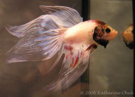 Frank the Betta by Ombry
