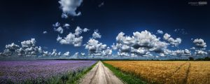 Phacelia and wheat field by NorbertKocsis