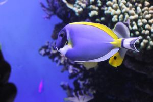 Powder Blue Tang by Blicrowave-Bloven