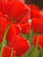 Red tulips by blueionis