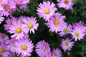 autumn asters by GLO-HE