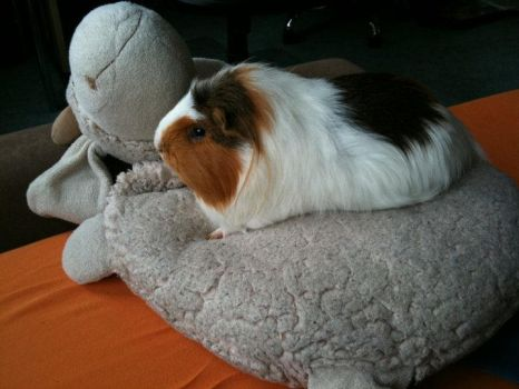 Guinea pig on Sheep. by insomniana