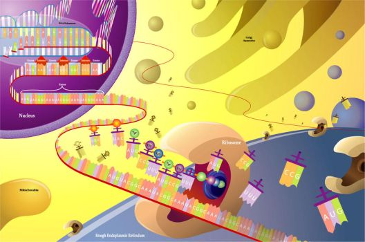 Protein Synthesis by TheElephantMan