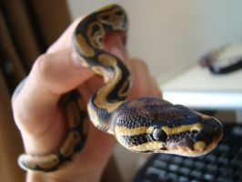 My ball python one by Psaenz
