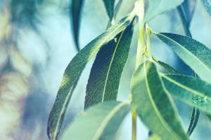 Willow Leaves by eyefish