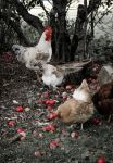 Apples and Chickens. by knoose