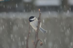 Chickadee and snow by Laur720