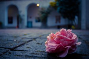 courtyard rose by crag137