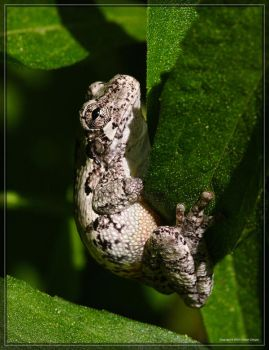 Gray Tree Frog 40D0039791 by Cristian-M