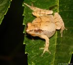 Oh no... another Tree Frog by natureguy