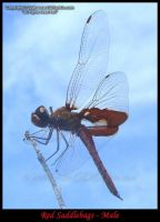 Red Saddlebags - Male 2 by GD-litenin