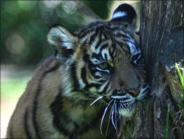 Tiger X by Parides