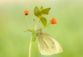 Morning cabbage butterfly ... by cigane13