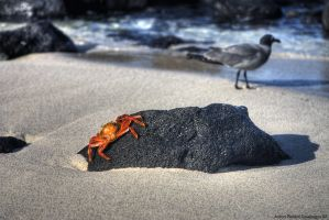 Sally Lighfoot Crab and Gull by AaronPlotkinPhoto
