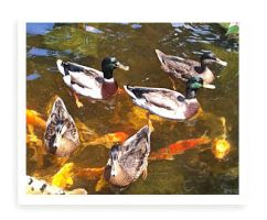 Ducks in the Serenity Pond. by Abanyanresidence