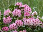 Rhododendron by Otoff