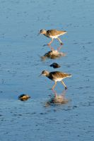 Redshank duo by piglet365