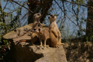 Meerkats VIII by expression-stock