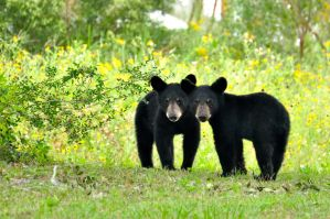 Black bear cubs by owen52
