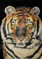 Tiger Stare by rlcreatif