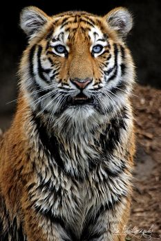 Little Tiger by Mias-Photography