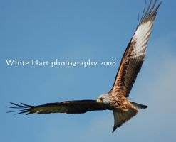 Red Kite by Forrestris