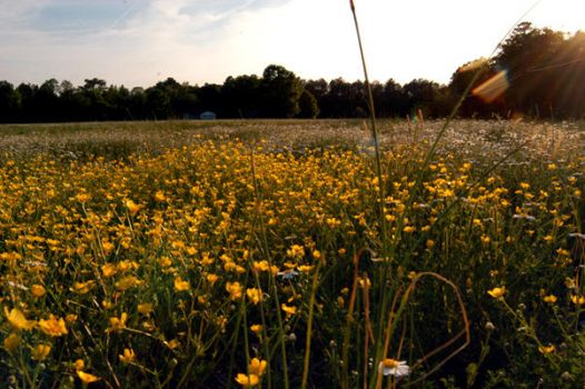 Beauty in Buttercups by spineglue