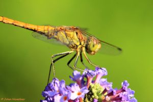 Dragonfly by jochniew