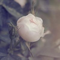 White Rose by Alyss6