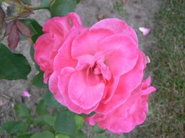 Pink rose - 04-07-06 by Sweetpepper-stock