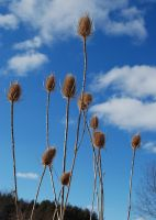 Thistles in Winter by tleach0608