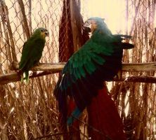 Parrots by Maleiva